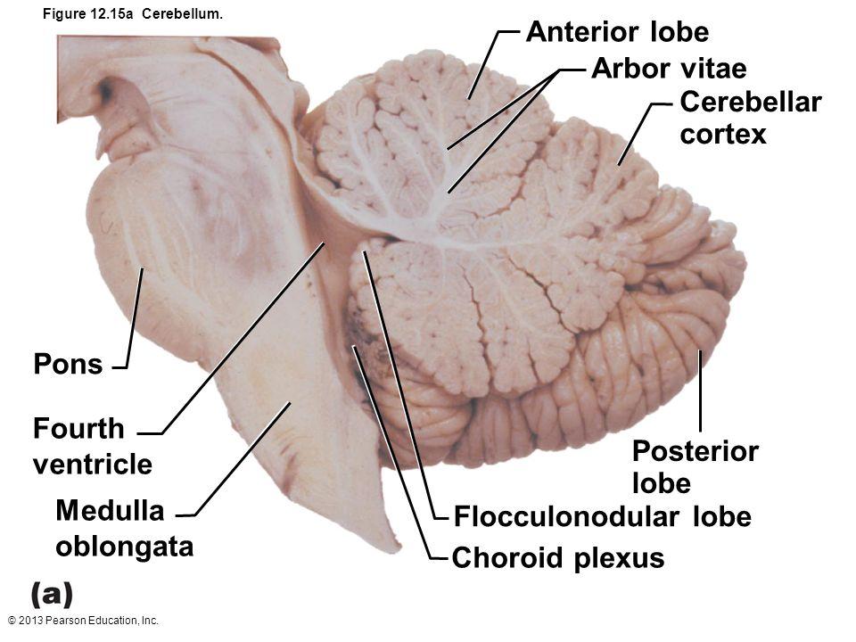 12 The Central Nervous System: Part B. - ppt video online download