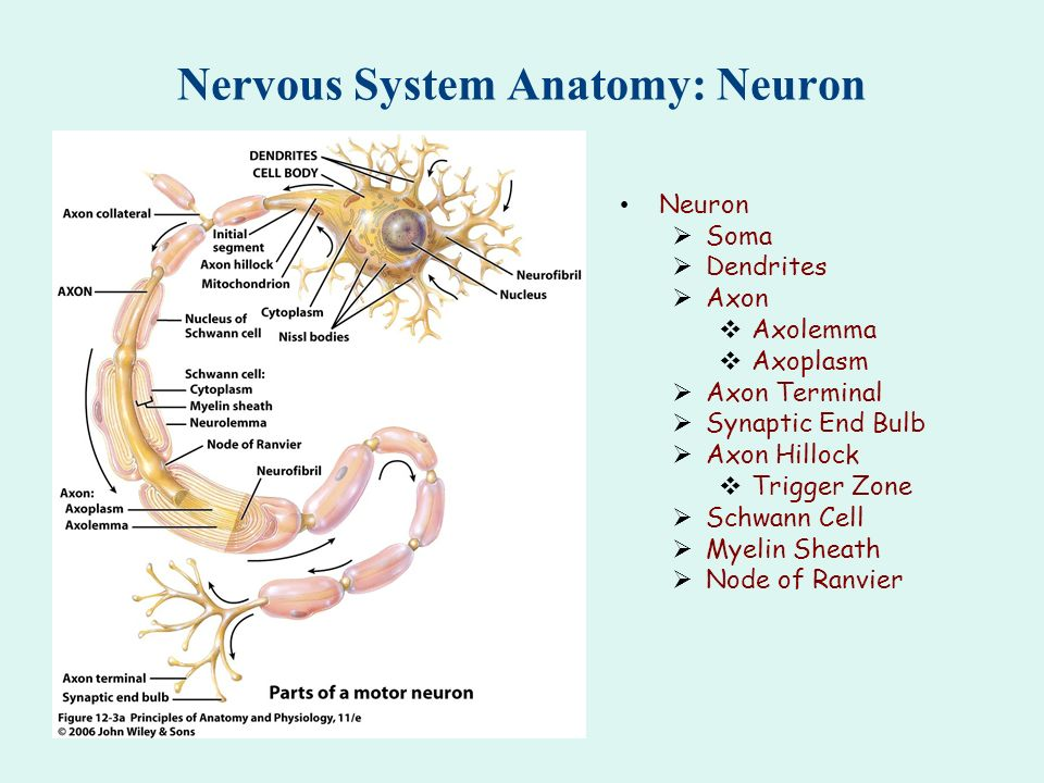 Nervous System Anatomy: Neuron - ppt download