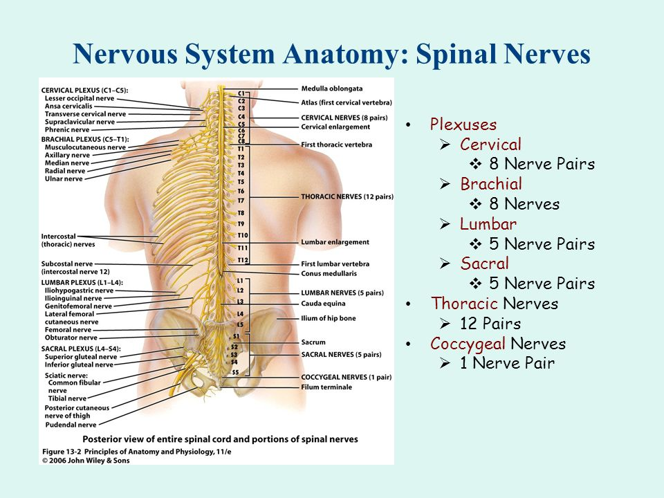 Atlas Spinal Nerves Diagram Trusted Wiring Diagram