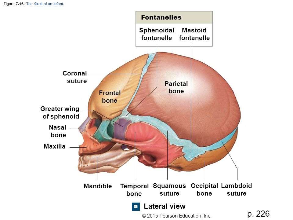 Figure 7 1a The Axial Skeleton Ppt Video Online Download