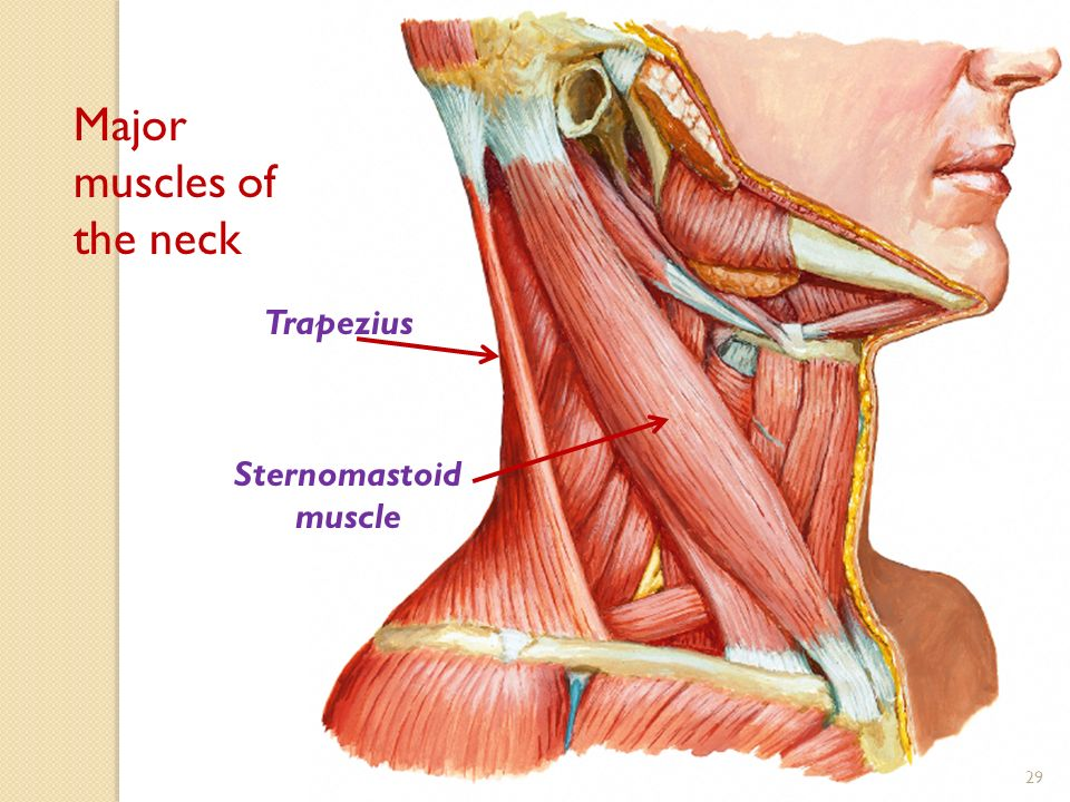 The Neck By Prof S Malik Prof Wagner Dr Ayat Ppt Video
