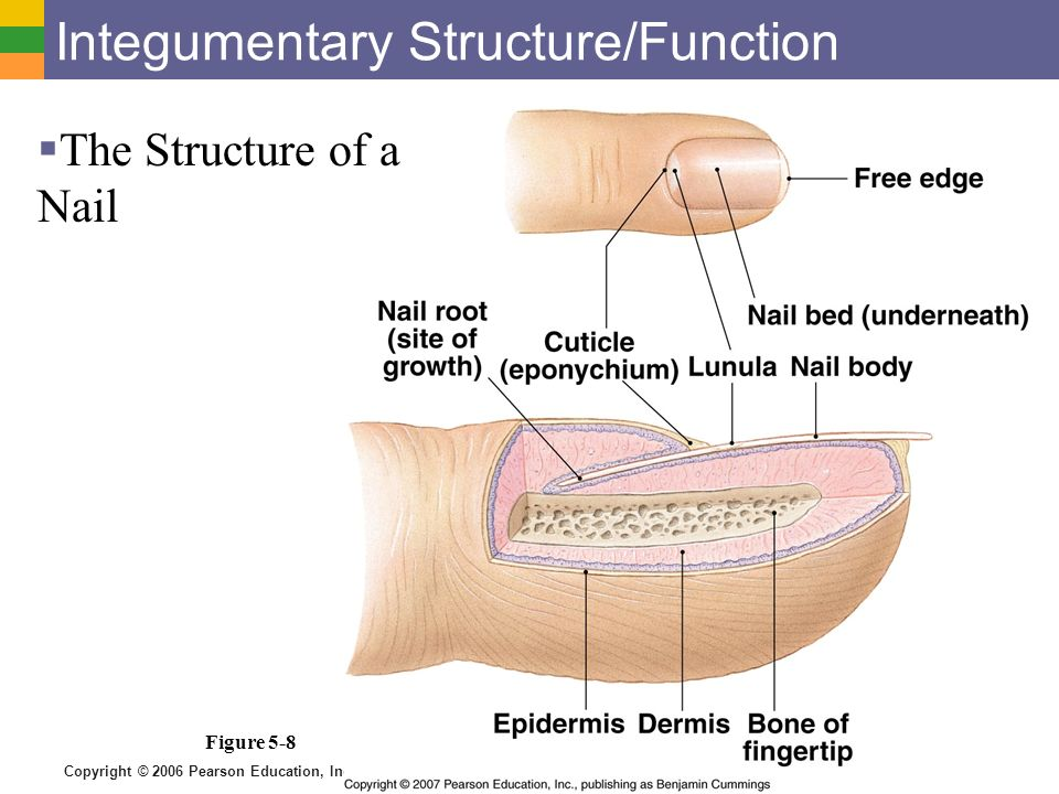 Skin and Body Membranes - ppt video online download