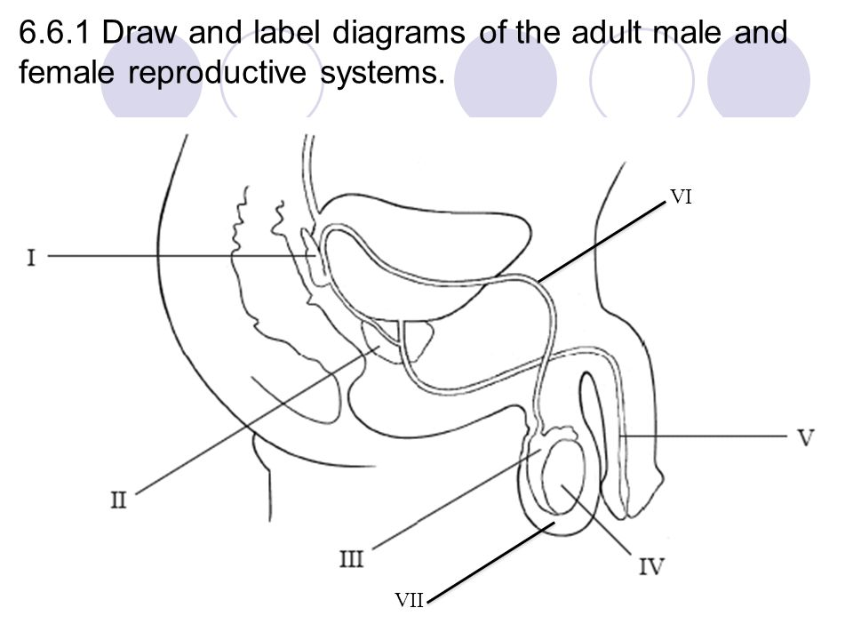 Human Reproductive System Diagram To Label - Application Wiring ...