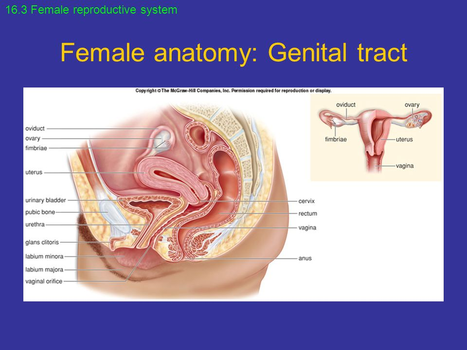 Chapter 16 Reproductive System. - ppt video online download