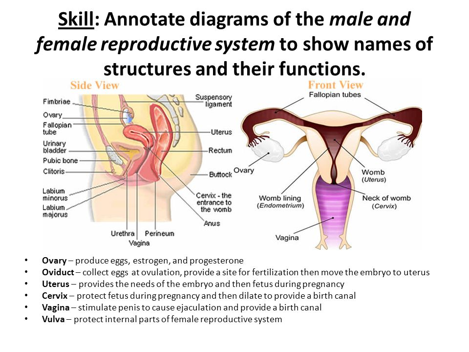 female reproductive system parts and functions ppt