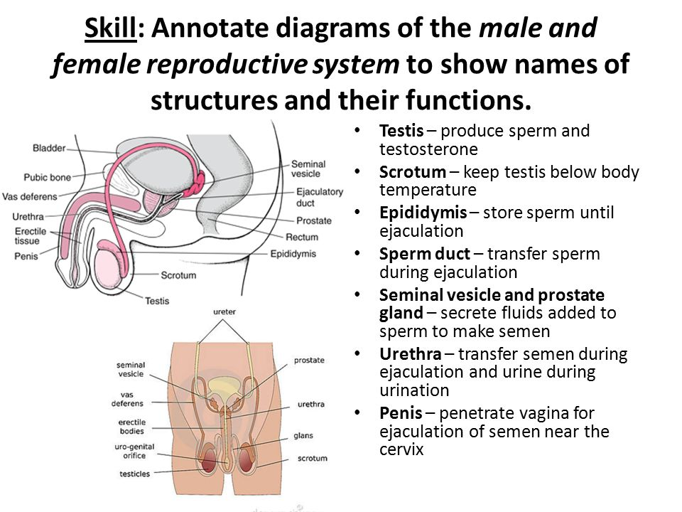 Diagram Of Female Reproductive System And Their Functions Block