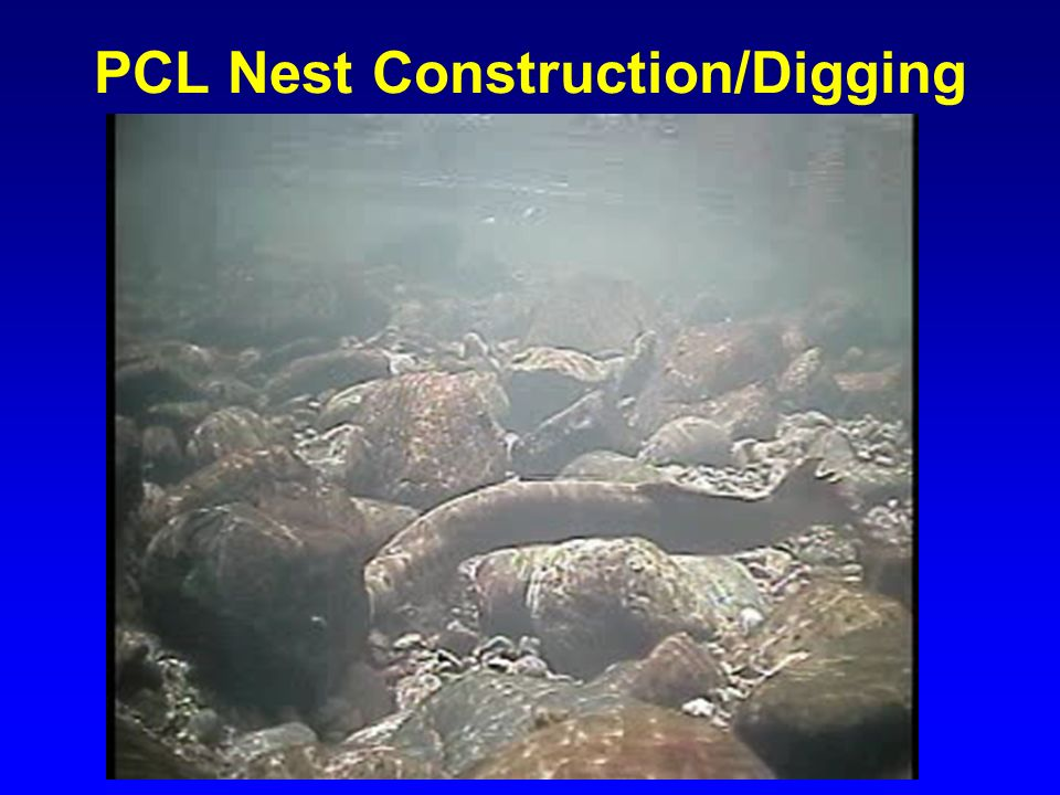 PCL Nest Construction/Digging