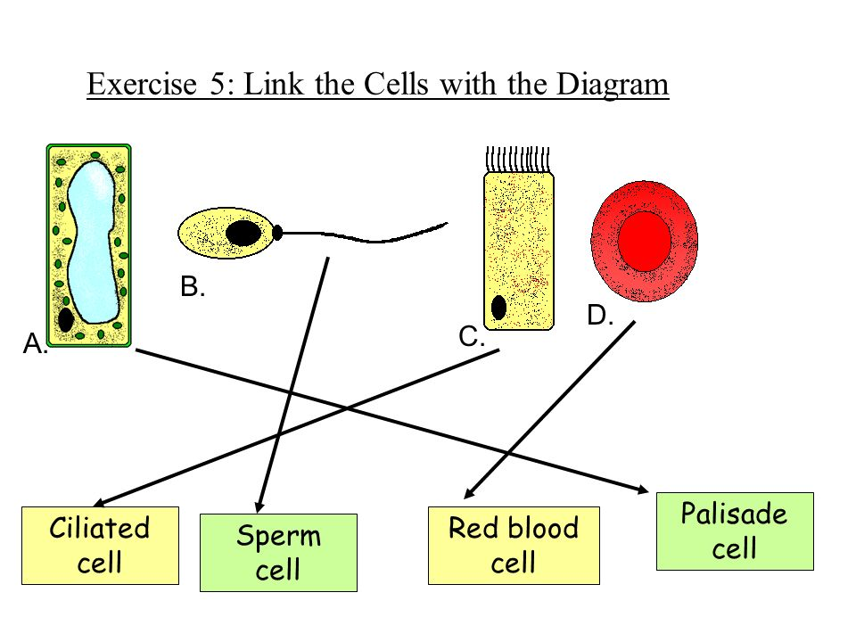 Cells animal cells plant cells specialised cells organisation ppt exercise 5 link the cells with the diagram ccuart Image collections