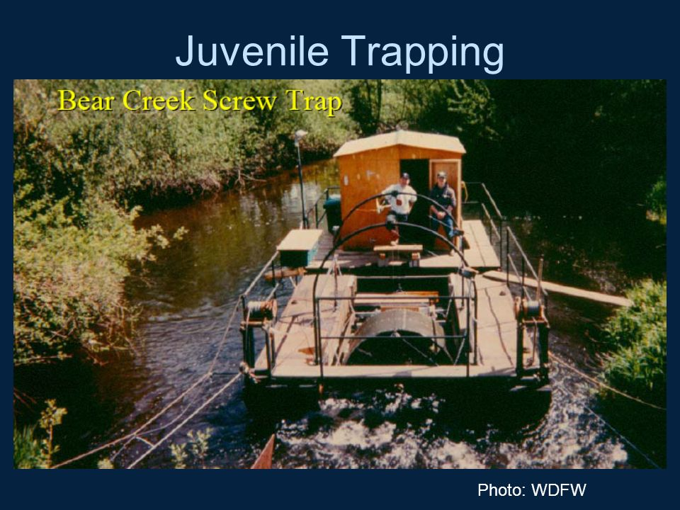 Juvenile Trapping Photo: WDFW