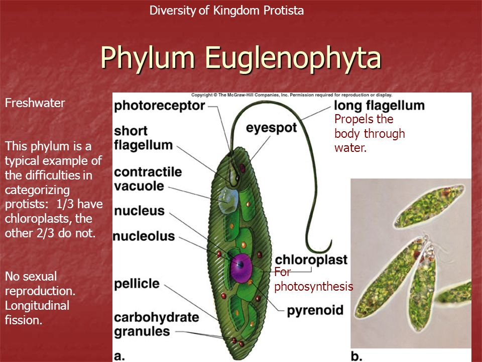 Diversity of Kingdom Protista