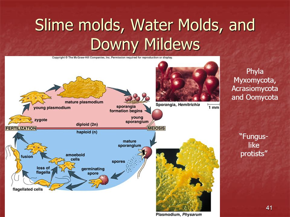 Slime molds, Water Molds, and Downy Mildews