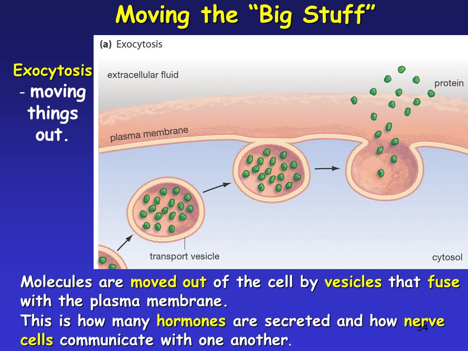 Exocytosis- moving things out.