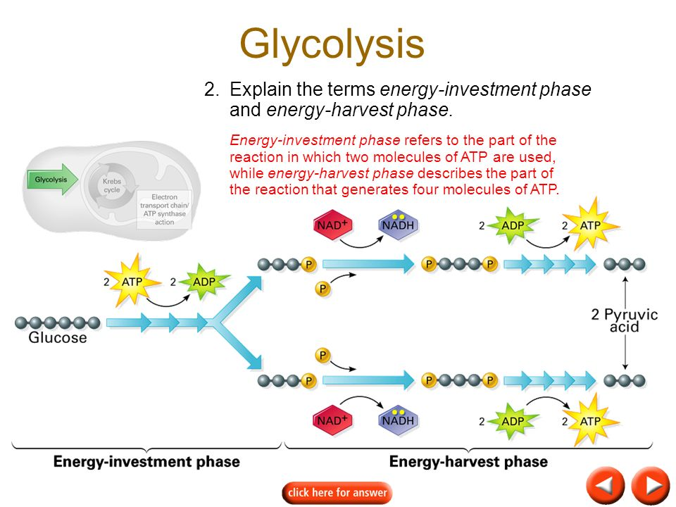 Glycolysis 2. Explain the terms energy-investment phase and energy-harvest phase.