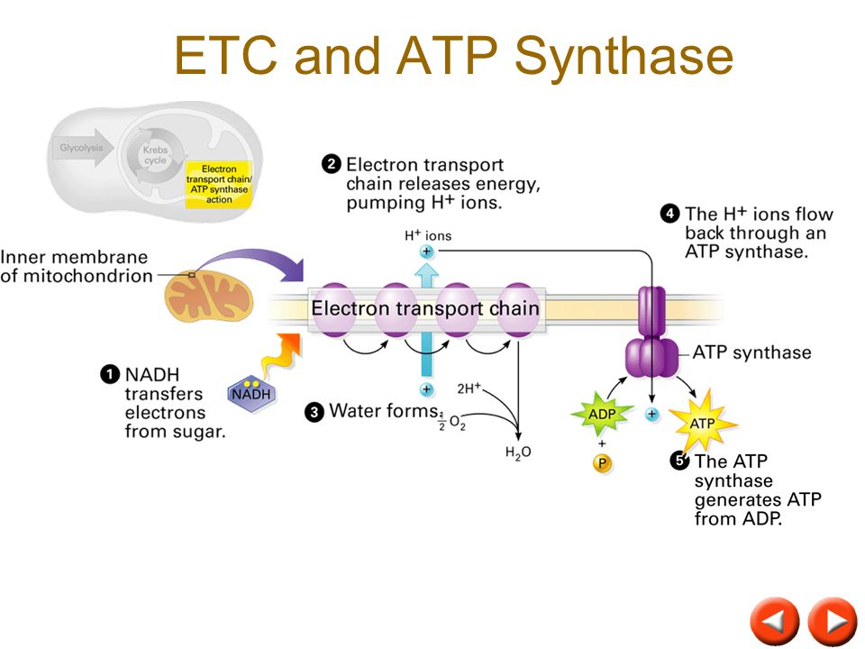 ETC and ATP Synthase