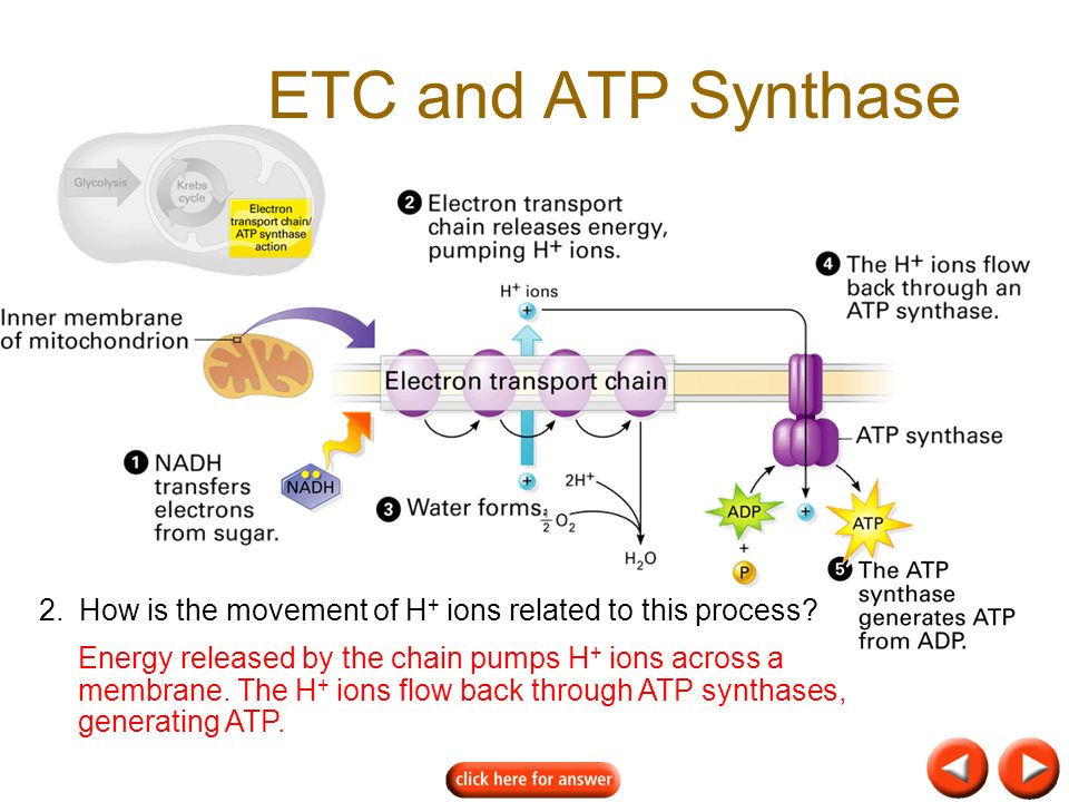 ETC and ATP Synthase 2. How is the movement of H+ ions related to this process