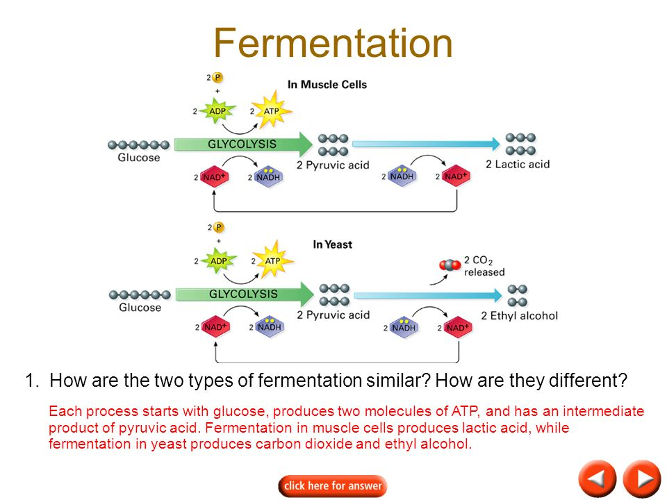 Fermentation 1. How are the two types of fermentation similar How are they different