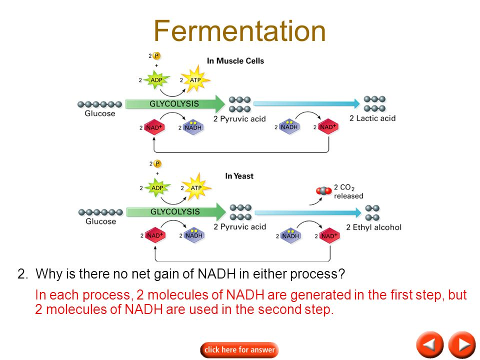 Fermentation 2. Why is there no net gain of NADH in either process