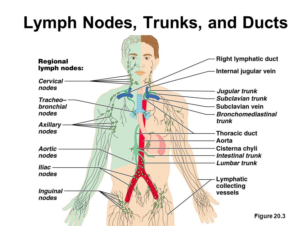 The Lymphatic And Immune Systems Ppt Video Online Download