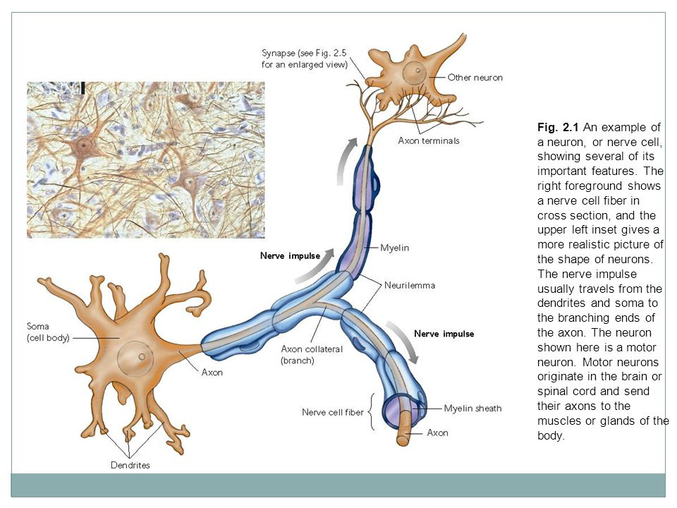 Fig. 2.1 An example of a neuron, or nerve cell, showing several of its important features.