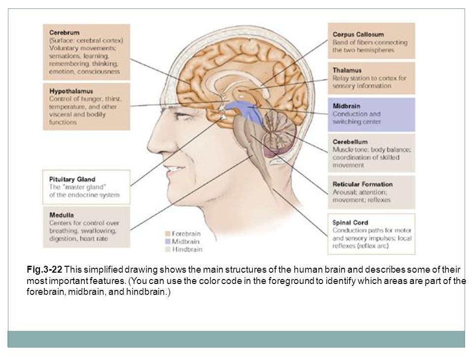 Fig.3-22 This simplified drawing shows the main structures of the human brain and describes some of their most important features.