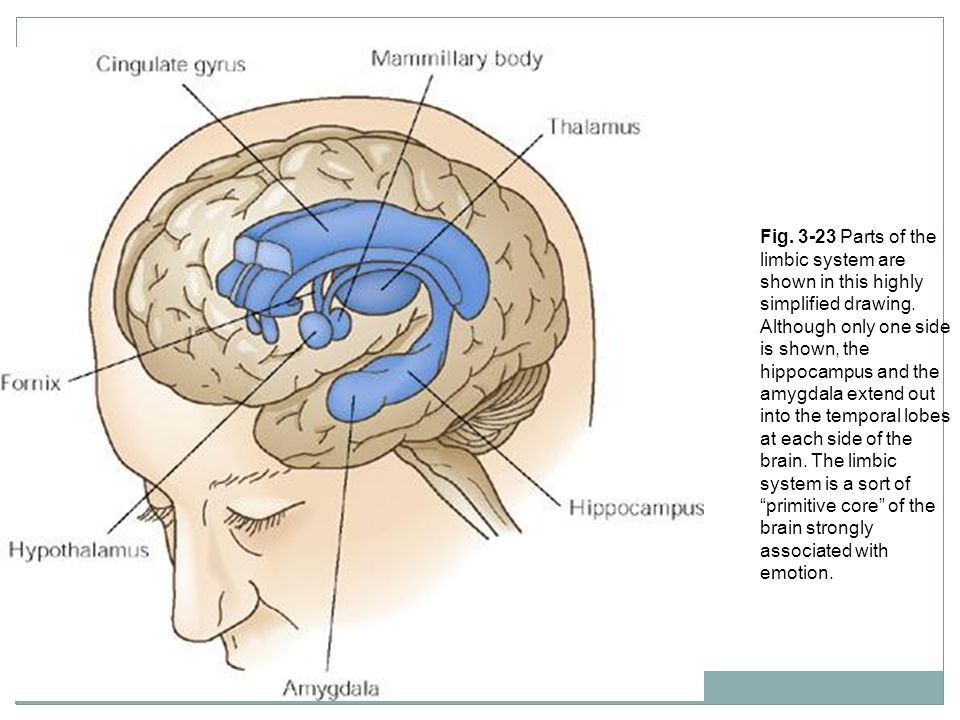 Fig. 3-23 Parts of the limbic system are shown in this highly simplified drawing.