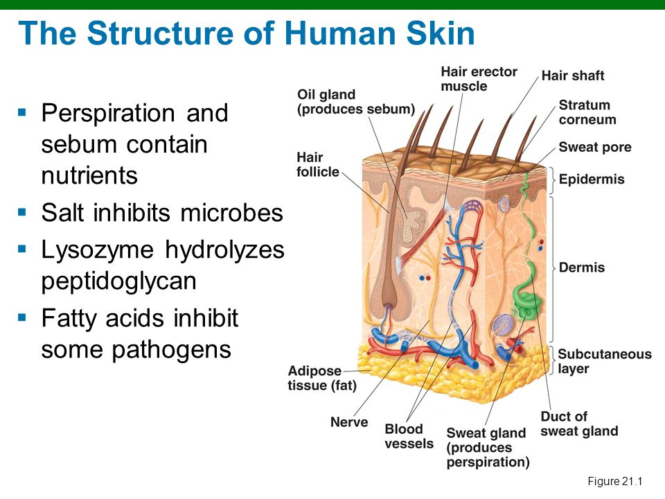 Structure and Function of the Skin - ppt download