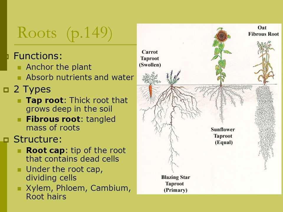 Roots (p.149) Functions: 2 Types Structure: Anchor the plant