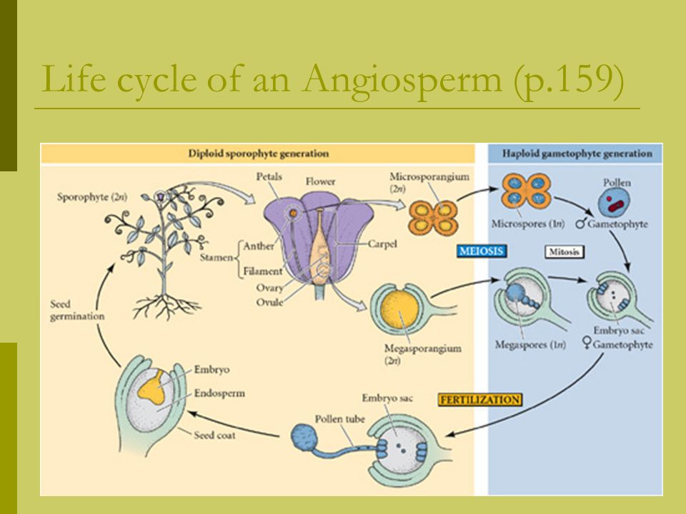 Life cycle of an Angiosperm (p.159)