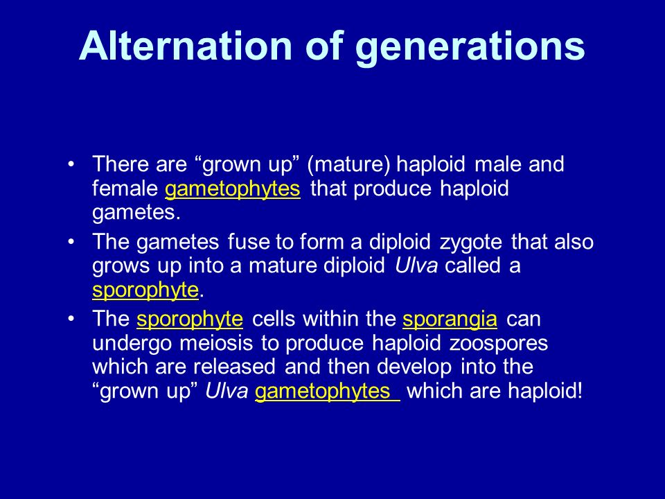 Ulva asexual reproduction video