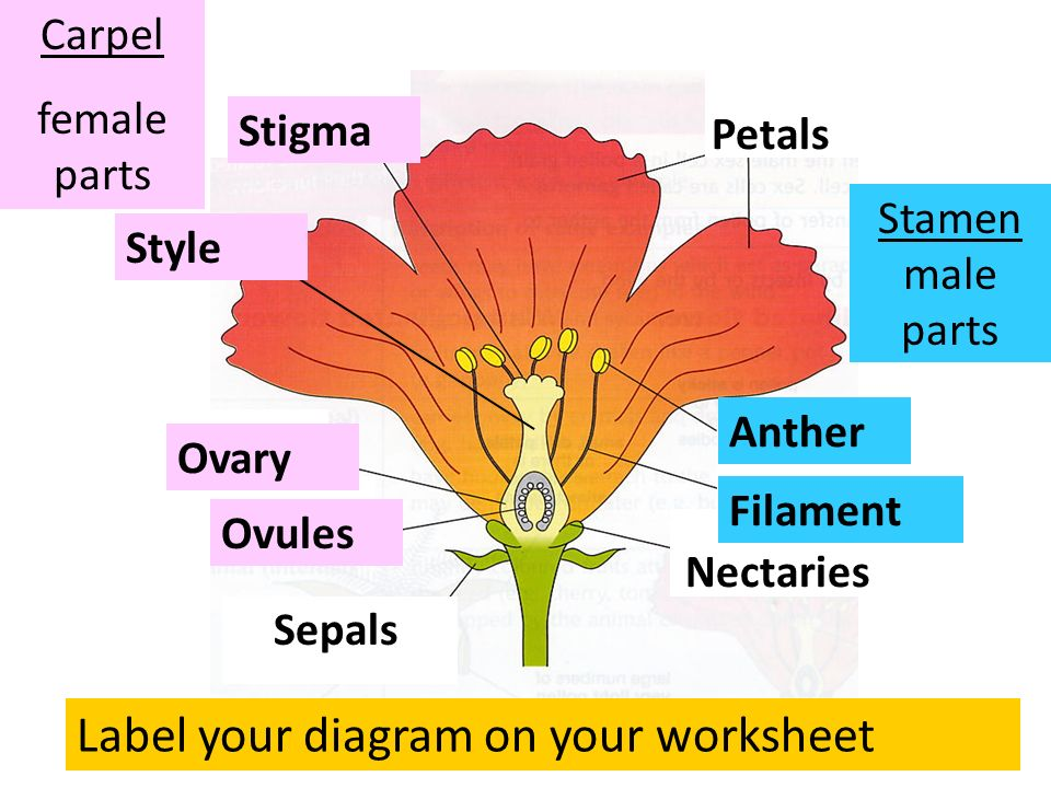 Parts of a flower lo understand the structure and function of the label your diagram on your worksheet ccuart Gallery