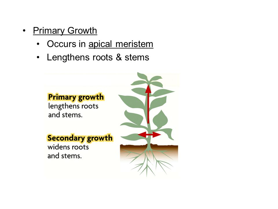 Primary Growth Occurs in apical meristem Lengthens roots & stems