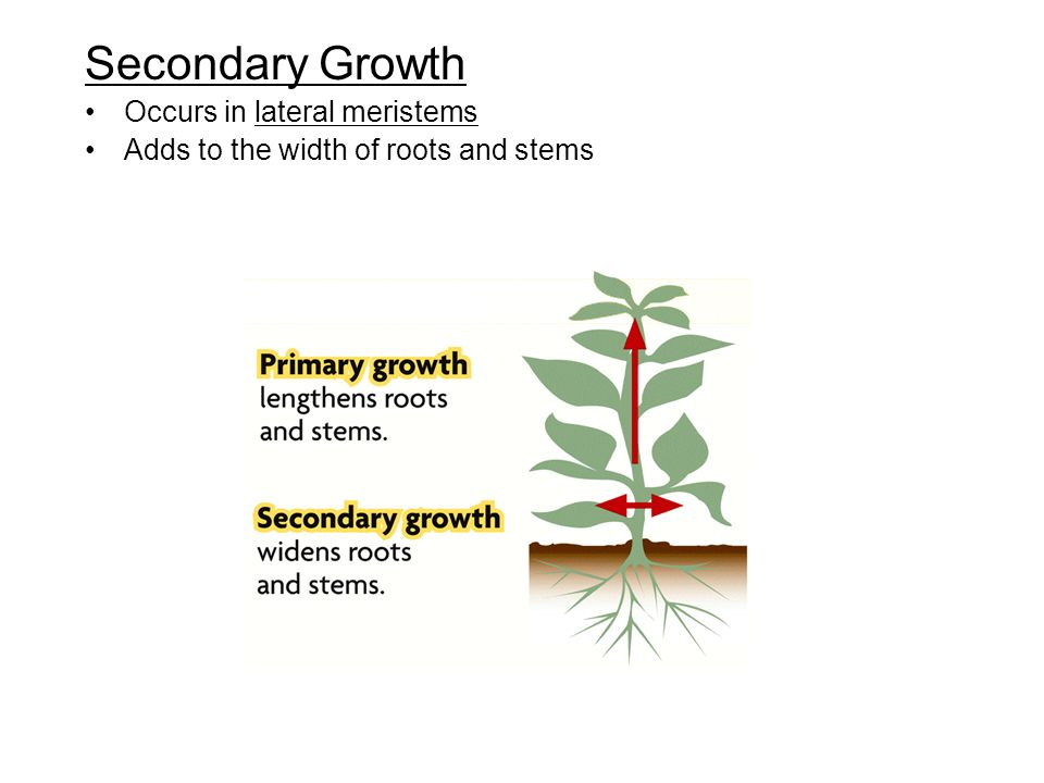 Secondary Growth Occurs in lateral meristems