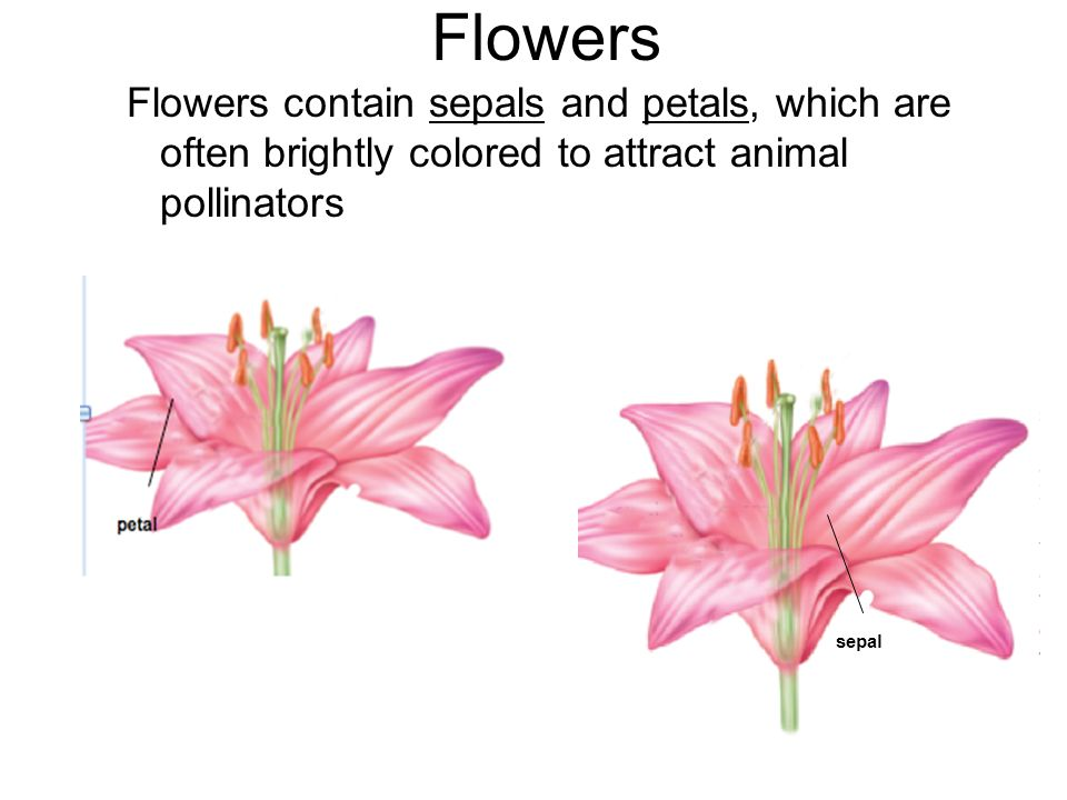 Flowers Flowers contain sepals and petals, which are often brightly colored to attract animal pollinators.