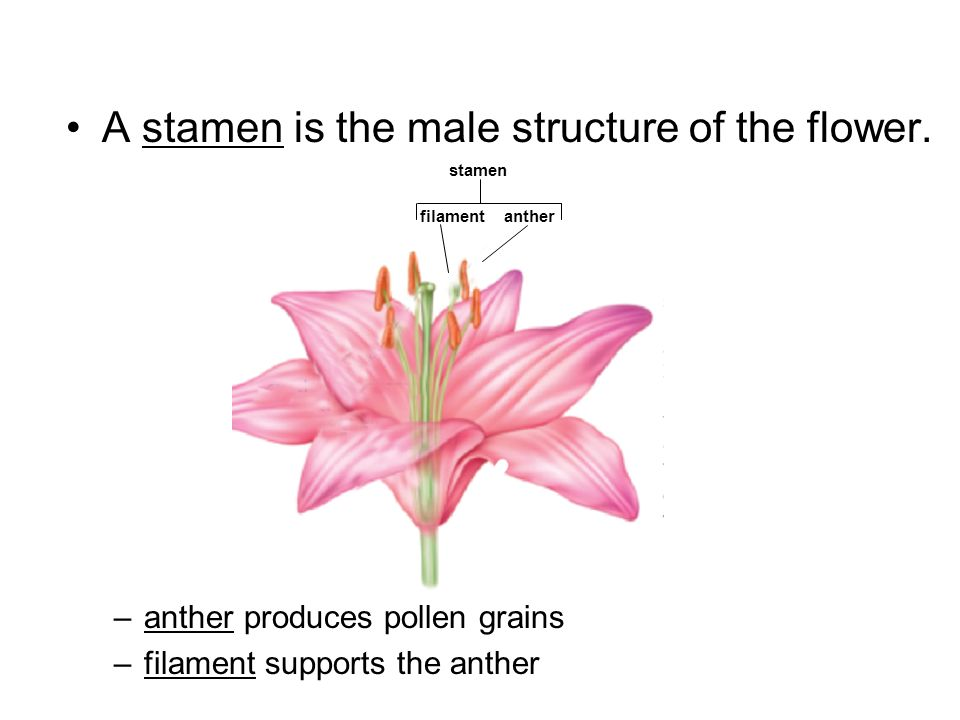 A stamen is the male structure of the flower.