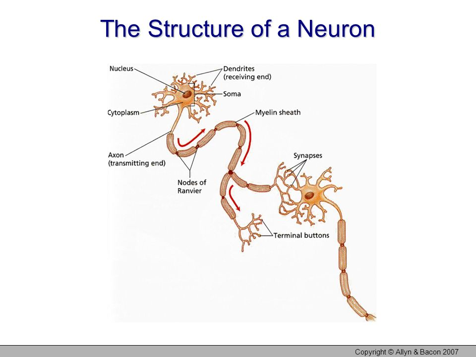 The Structure of a Neuron