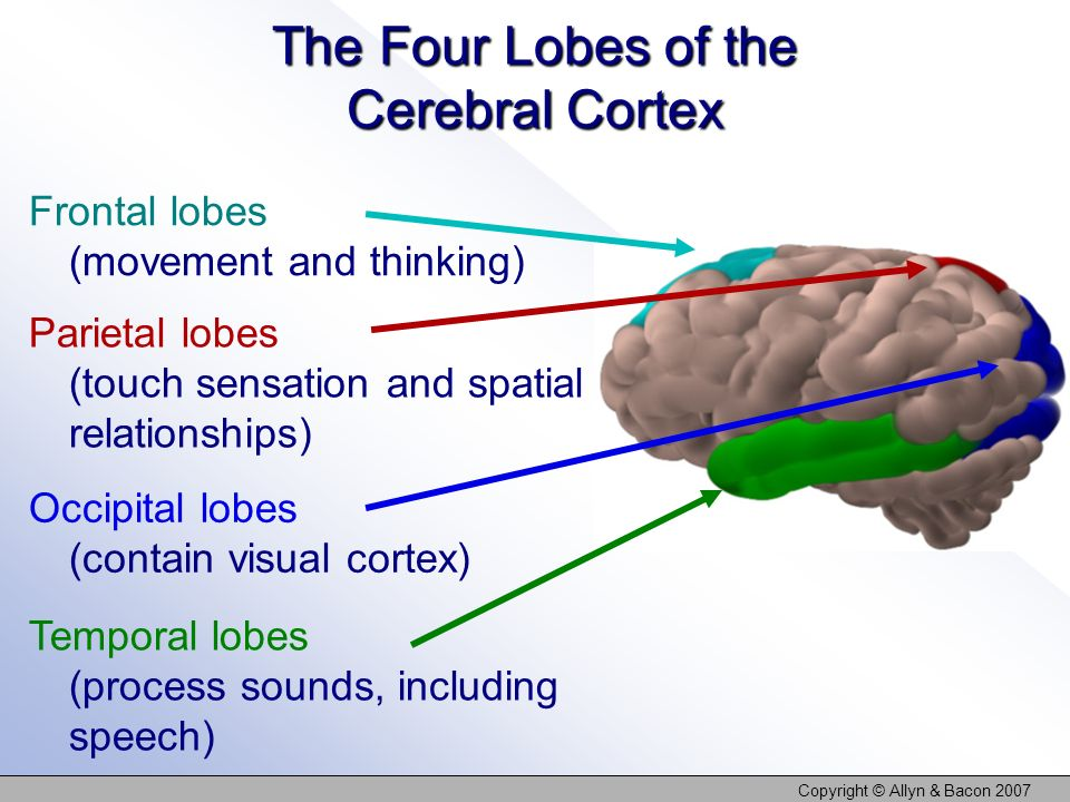 The Four Lobes of the Cerebral Cortex
