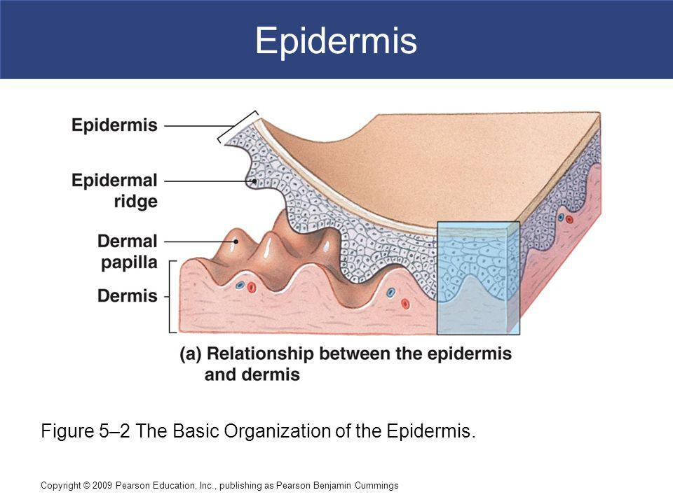 Epidermis Figure 5–2 The Basic Organization of the Epidermis.