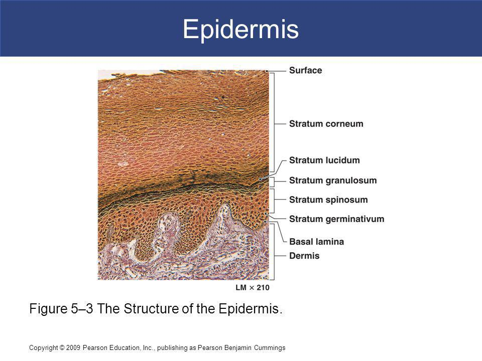 Epidermis Figure 5–3 The Structure of the Epidermis.