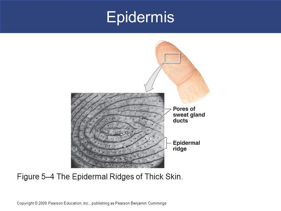 Epidermis Figure 5–4 The Epidermal Ridges of Thick Skin.