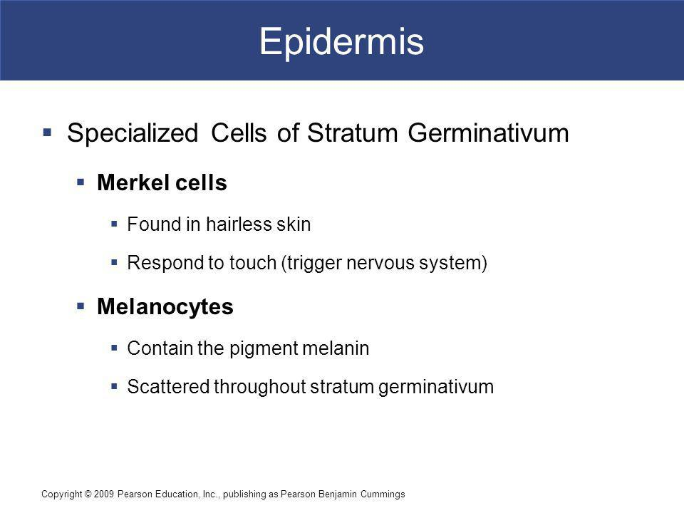 Epidermis Specialized Cells of Stratum Germinativum Merkel cells