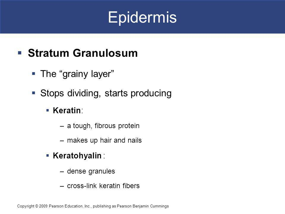 Epidermis Stratum Granulosum The grainy layer