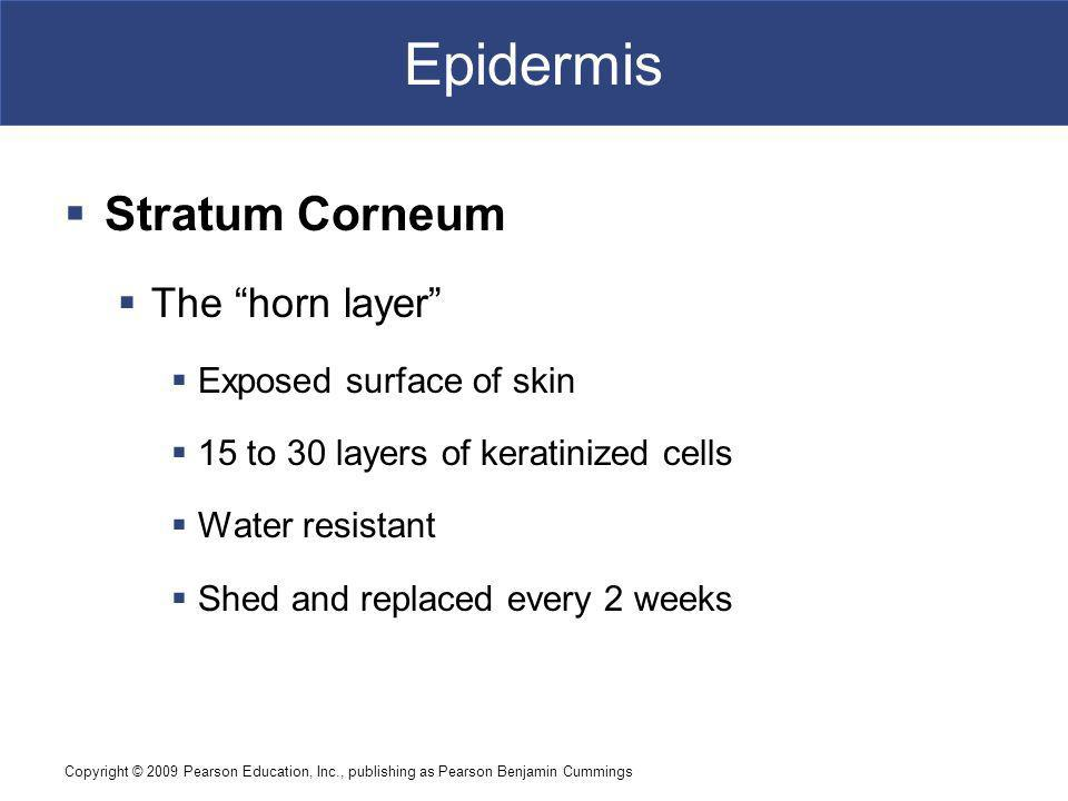 Epidermis Stratum Corneum The horn layer Exposed surface of skin
