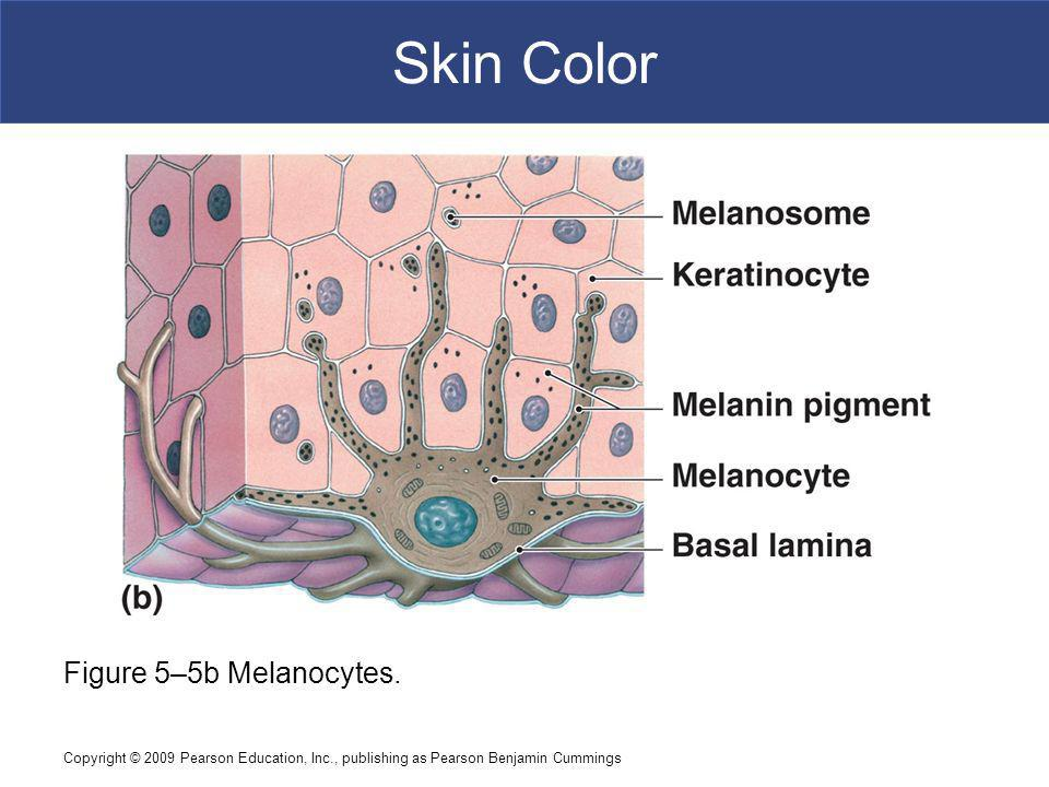 Skin Color Figure 5–5b Melanocytes.
