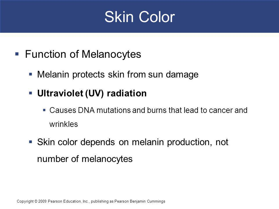 Skin Color Function of Melanocytes
