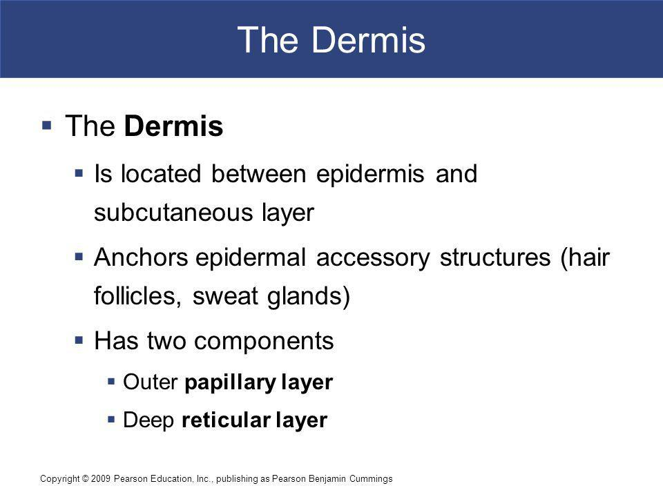 The Dermis The Dermis. Is located between epidermis and subcutaneous layer. Anchors epidermal accessory structures (hair follicles, sweat glands)
