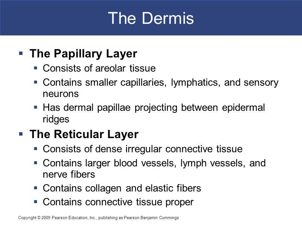 The Dermis The Papillary Layer The Reticular Layer