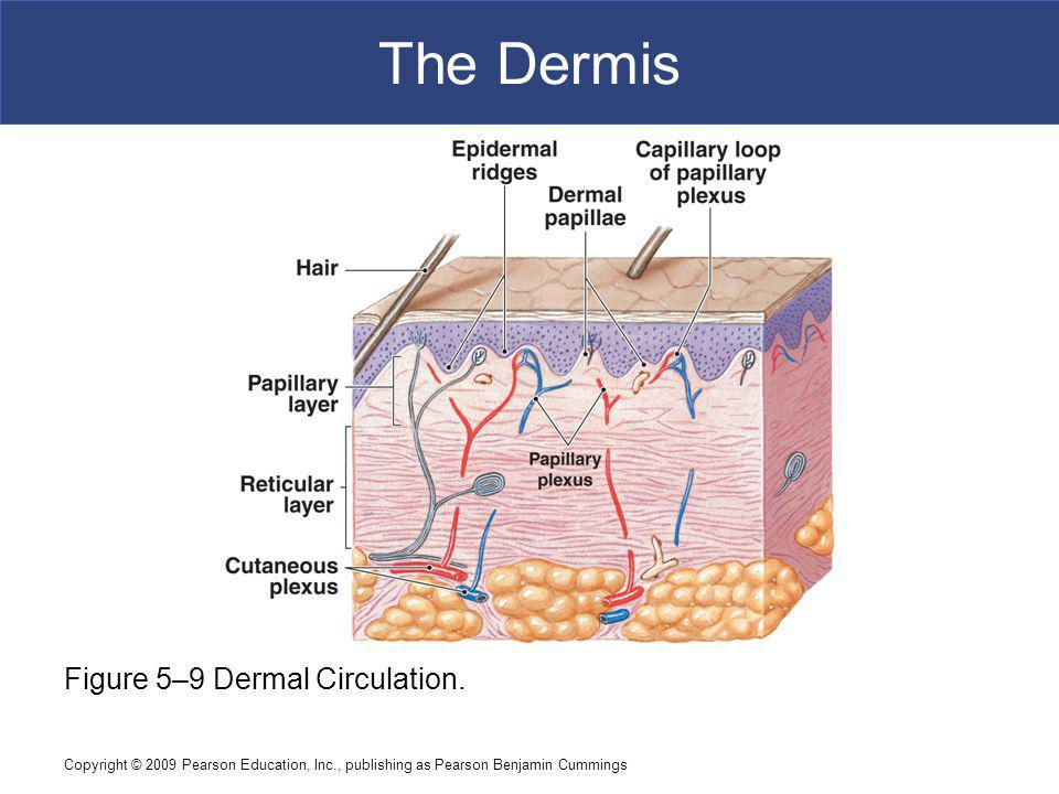 The Dermis Figure 5–9 Dermal Circulation.