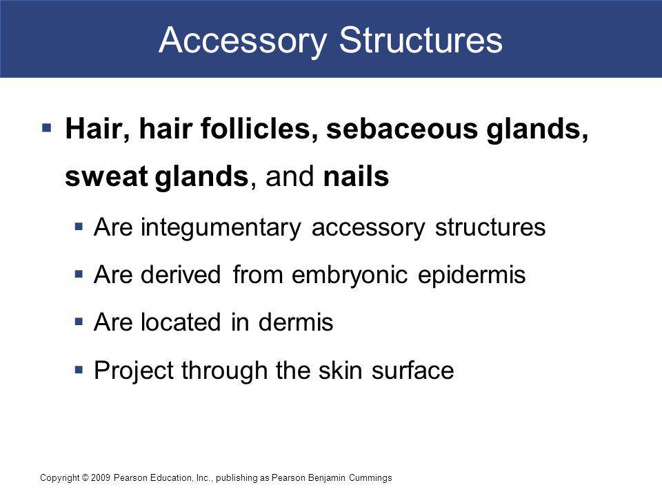 Accessory Structures Hair, hair follicles, sebaceous glands, sweat glands, and nails. Are integumentary accessory structures.