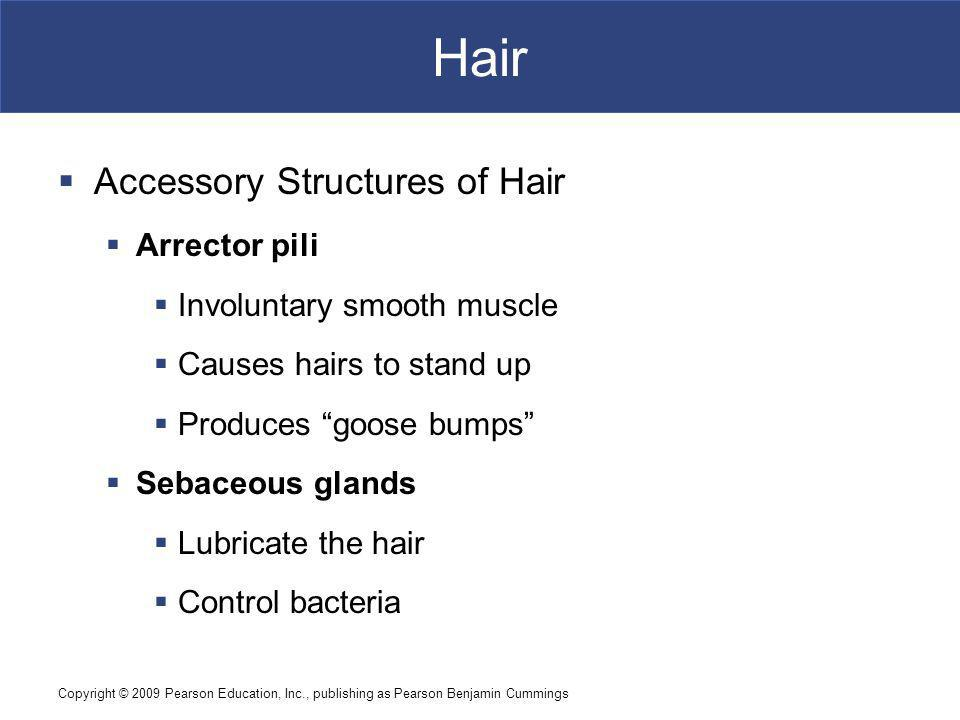 Hair Accessory Structures of Hair Arrector pili