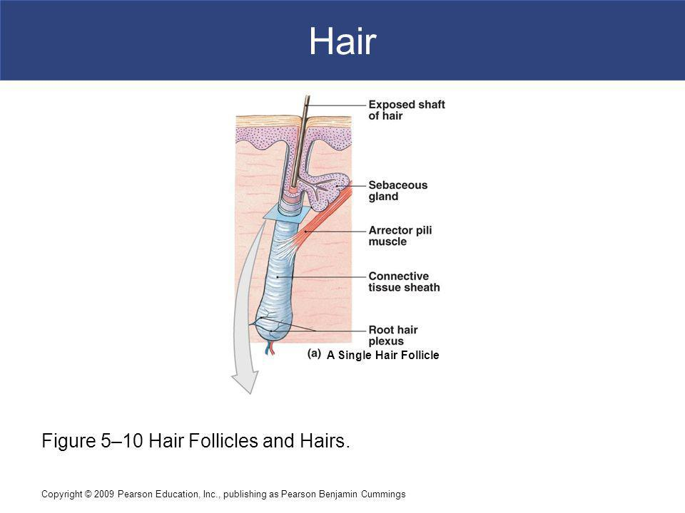 Hair Figure 5–10 Hair Follicles and Hairs. A Single Hair Follicle